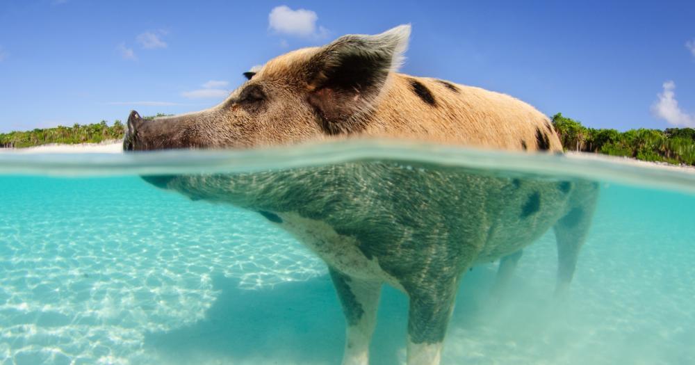 Bahamas - Blick auf die Schweine auf den Bahamas