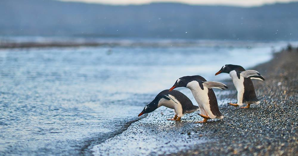 Südliche Shetlandinseln - Pinguine