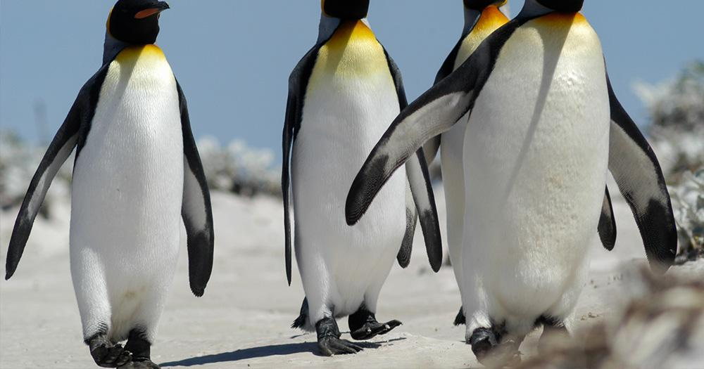 Falklandinseln / Gruppe Königspinguine