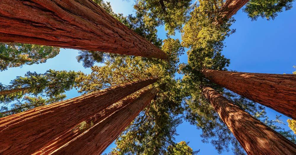 Redwood-Nationalpark / große Bäume im Redwood-Nationalpark