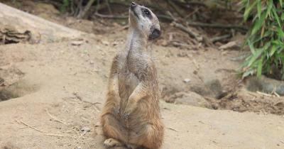 Zoo Dortmund - ein Meerkat schaut nach oben