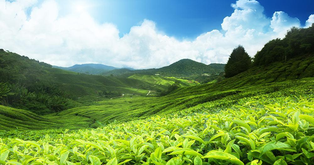 Malaysia - Teeplantage, Cameron highlands