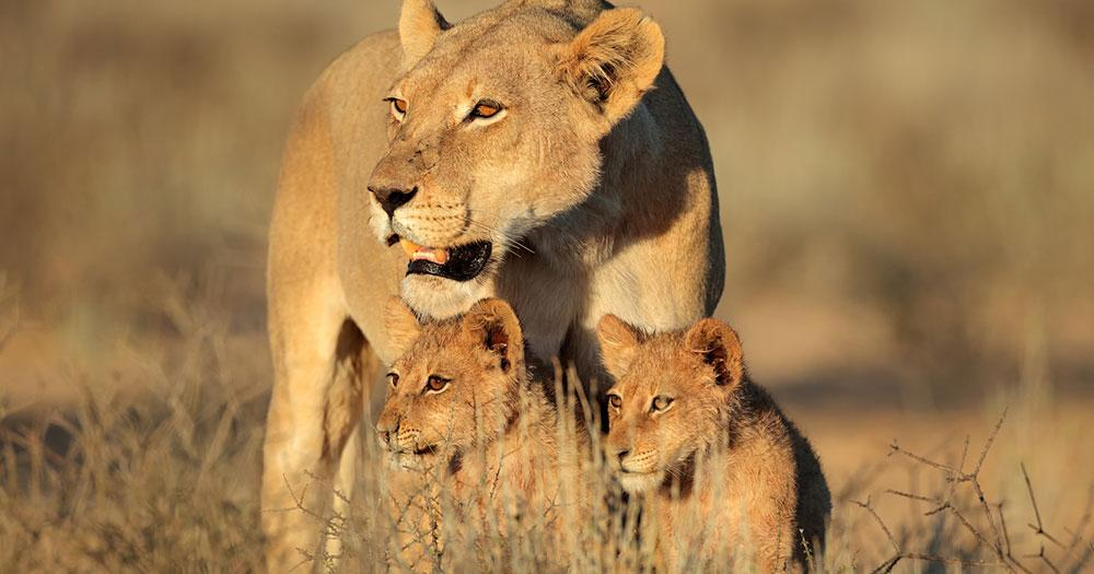 Kapstadt - Löwenfamilie in der Savanne