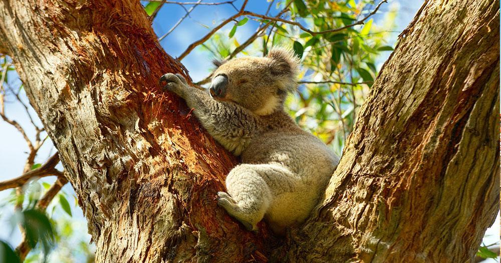 Sydney - Der Koala Bär als Wahrzeichen