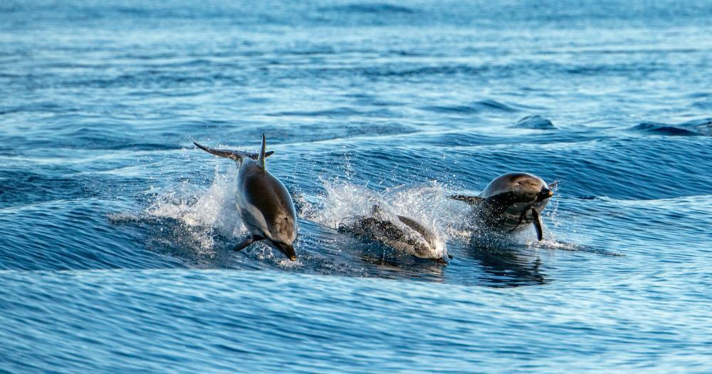 Azoren - Delphine im Atlantik