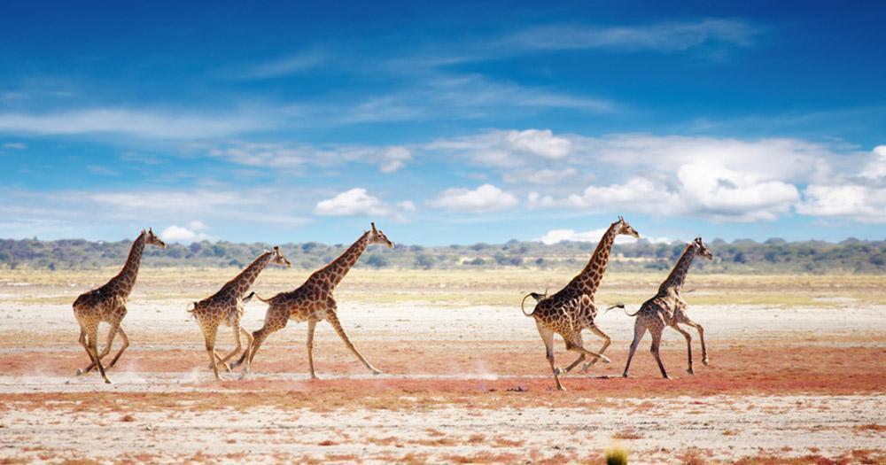 Namibia - Giraffen in der Steppe