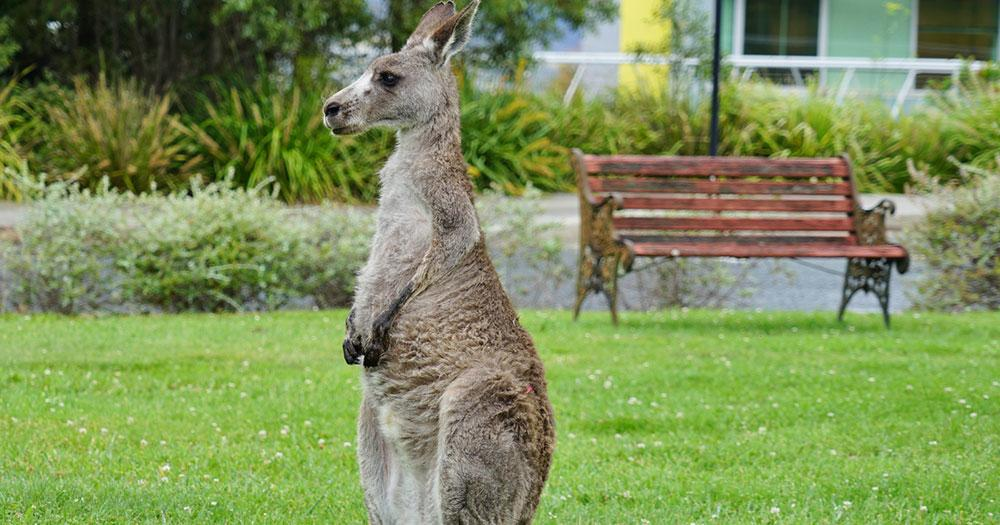 Canberra - Wild lebende Kängurus