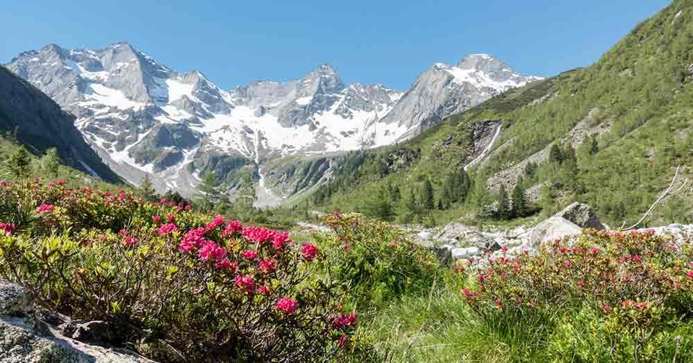Südtirol - Berglandschaft und Alpenrosen