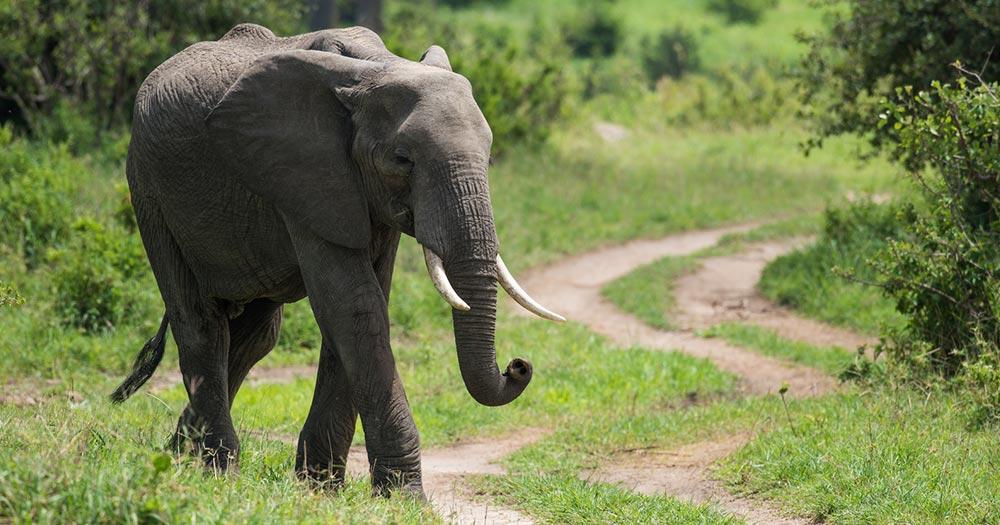 Arusha - Elefant in Savanne