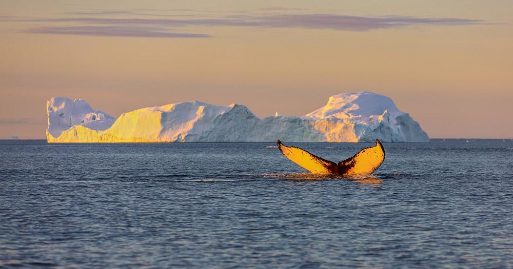Ilulissat - Walsichtung im Abendlicht