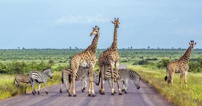 Kruger Nationalpark - Giraffen und Zebras